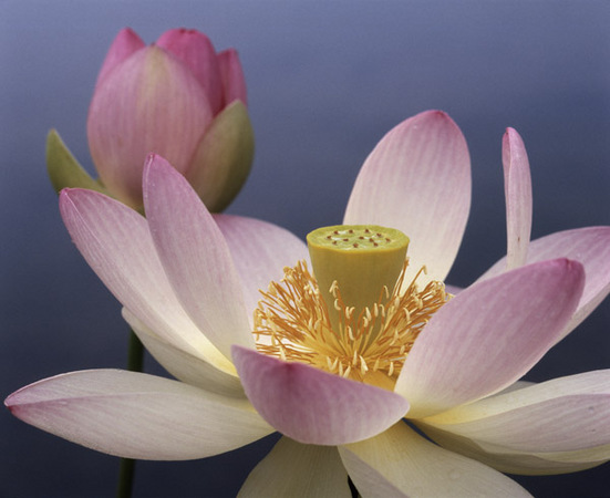 Perfect Pink Lotus : Beauty in Context : Diane Smook Photography: Nature, Dance, Documentary