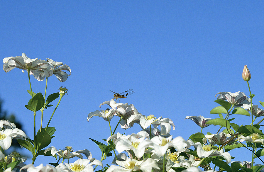 Dragonfly on Clematis : Beauty in Context : Diane Smook Photography: Nature, Dance, Documentary