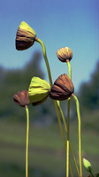Tall Lotus Pods