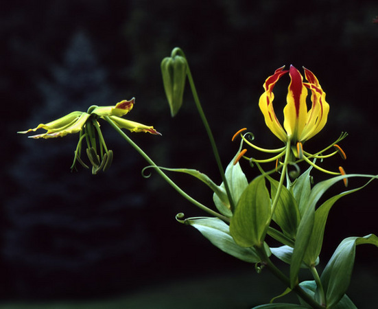 Gold Gloriosa Lily 1 : Beauty in Context : Diane Smook Photography: Nature, Dance, Documentary