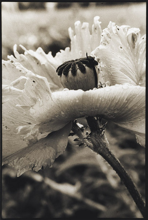 Poppy/Marilyn : Portraits from the Garden : Diane Smook Photography: Nature, Dance, Documentary