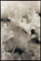 Infrared Poppies