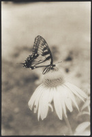 Infrared Swallowtail & Coneflower