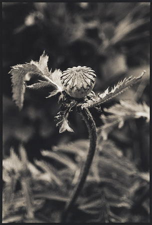 Poppy/Dancer : Portraits from the Garden : Diane Smook Photography: Nature, Dance, Documentary