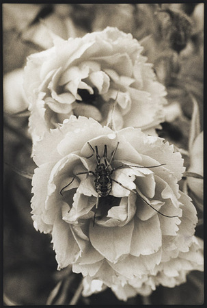 Old Rose/Spider : Portraits from the Garden : Diane Smook Photography: Nature, Dance, Documentary