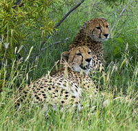 Young cheetahs, Ngala Game Reserve, Kruger Park,  South Africa