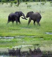 Young male elephants, Chobe, Botswana