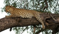 Leopard, Ngala Game Reserve, Kruger Park, South Africa