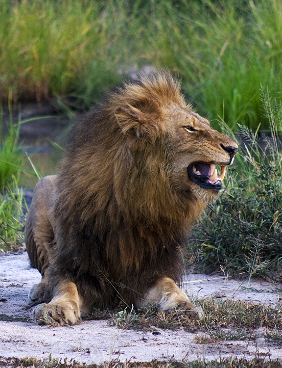 Male lion, Ngala Game Reserve, Kruger Park, South Africa : African Journey : Diane Smook Photography: Nature, Dance, Documentary