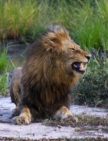 Male lion, Ngala Game Reserve, Kruger Park, South Africa
