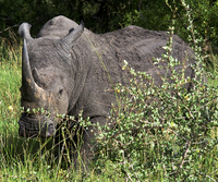 Rhinoceros, Ngala Game Reserve, Kruger Park, South Africa