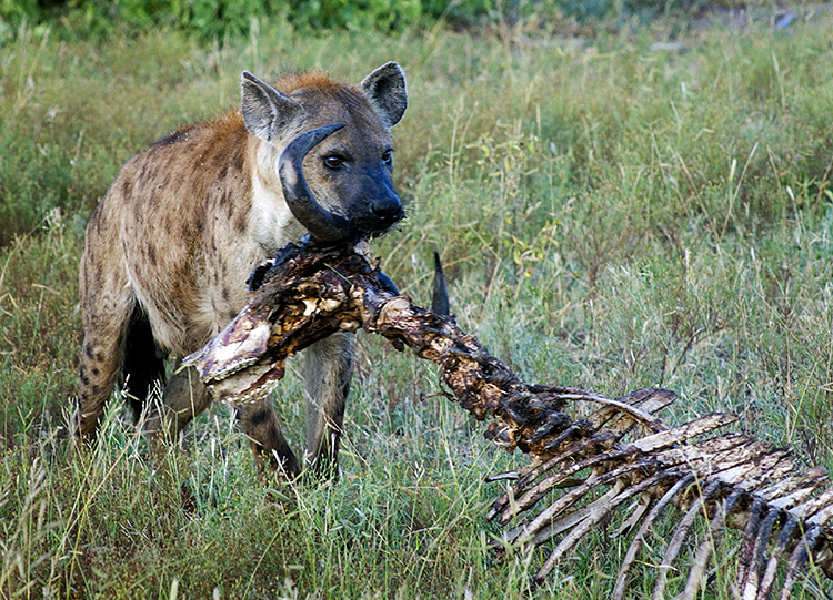 Spotted Hyena eating Old Cape Buffalo bones, Ngala Game Reserve, Kruger Park, South Africa : African Journey : Diane Smook Photography: Nature, Dance, Documentary
