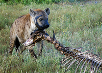 Spotted Hyena eating Old Cape Buffalo bones, Ngala Game Reserve, Kruger Park, South Africa